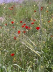 Images of Israel : Poppies on the side of the road